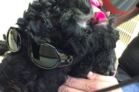 Dog wearing goggles for laser therapy treatment