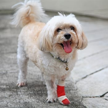 Small dog with a bandaged leg